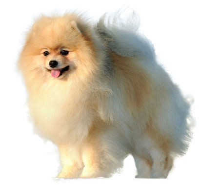 Klein German Spitz