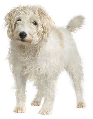 Parson Russell Terrier (Rough)